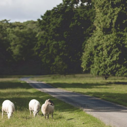 Sheep near the parkland drive at Homme House